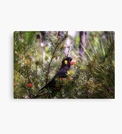 Yellow-tailed Black Cockatoo Canvas Print