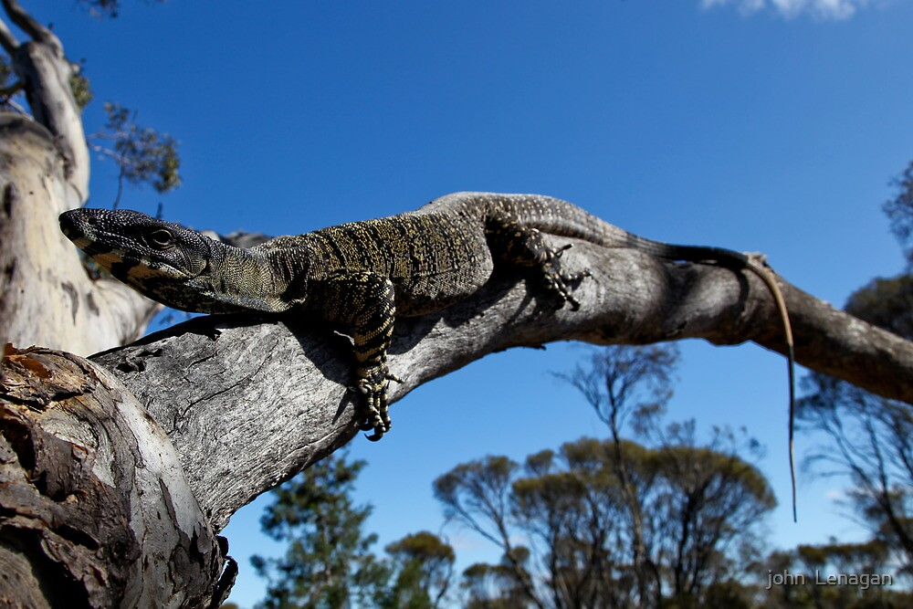 Large  Lace Monitor Lounging by john  Lenagan