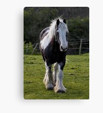 Shire Horse Canvas Print