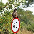 PLEASE TAKE NOTE OF THE SPEED ZONE! - THE CHACHMA BABOON - Papio ursinus by Magriet Meintjes