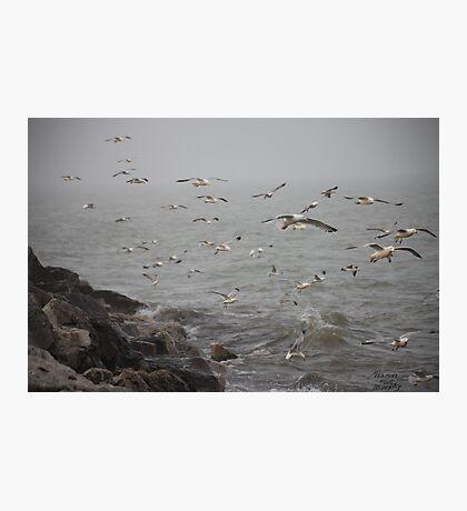 A flock of Seagulls feeding Photographic Print