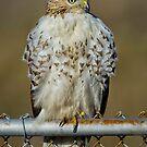 Hawk on fence by Daniel  Parent