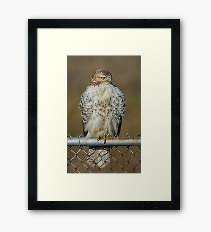 Hawk on fence Framed Print
