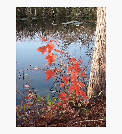 MAPLE SEEDLING, CYPRESS AND CREEK Photographic Print