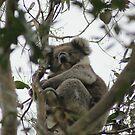 Koala Cape Otway by trishringe