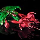 Fuchsias XXVIII by Tom Newman