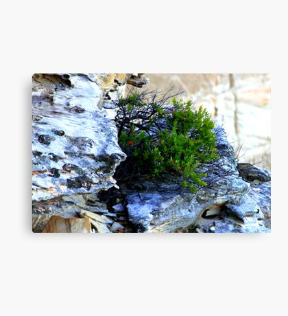 north head manly - little seed grew Canvas Print