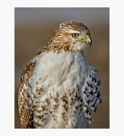 Red tailed Hawk Profile Photographic Print