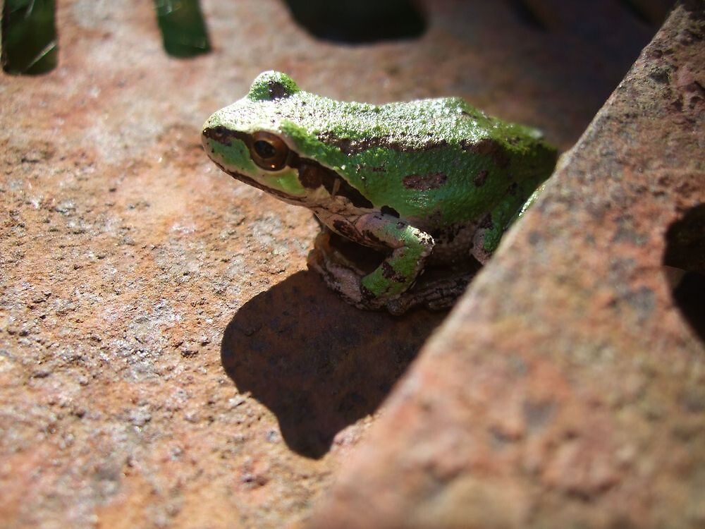 frog on a saw close up by colleensilkart