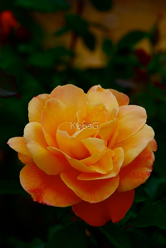 Rose Lady Vera (Australia-Bot. Garden) by KoosG