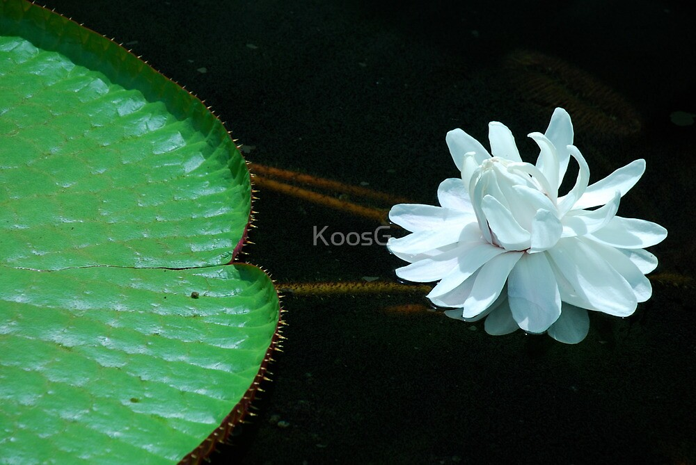 Giant Lily (Victoria amazonica) by KoosG