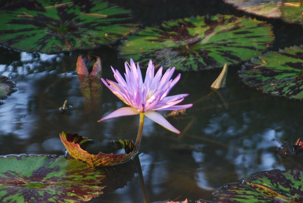 Water Lily  by tagdproductions