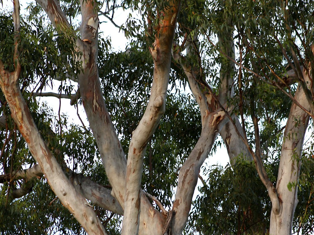Gumtree Branches by Bami