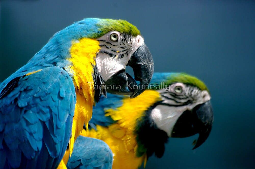 Blue and Green Macaws by Tamara  Kenneally