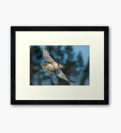 Hawk Fly By Framed Print