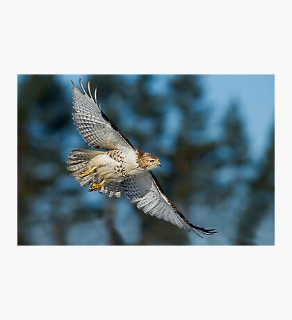 Hawk Fly By Photographic Print