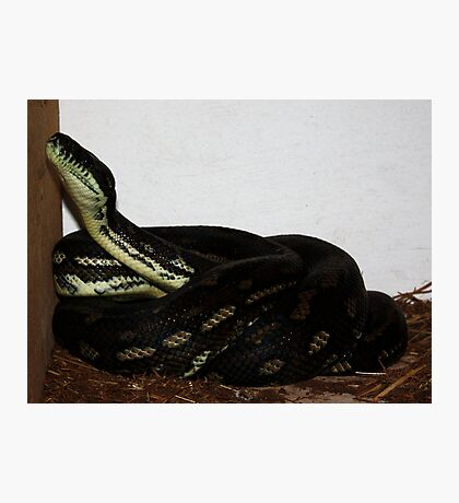 Python in the Chook House! Photographic Print