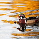 Wood Duck on Golden Pond by Susan Gary