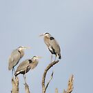 Three Great Blue Herons by Susan Gary