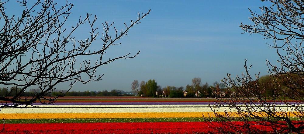 tulip carpet by supergold