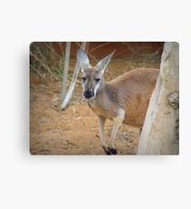 Red Kangaroo (Macropus rufus) Canvas Print