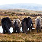 Shetland Ponies drinking (highlighted) by Frances Taylor