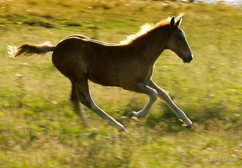 Appaloosa foal running by Robert Down
