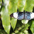 Silver Blue Butterfly by Rosalie Scanlon