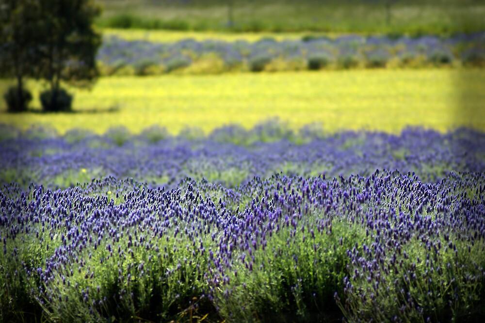 Lavender Field by Darren Speedie
