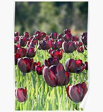 Tulips en masse Poster