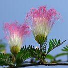 Indian shuttlecock flower by John Mitchell