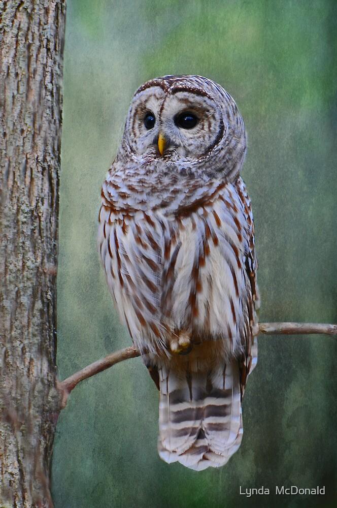 Barrred Owl by Lynda   McDonald