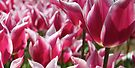 Tulip Me Pink by Emma Holmes