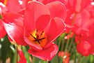 Tulip Me Red by Emma Holmes