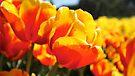 Tulip Me Orange by Emma Holmes