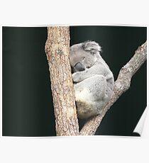 Sleeping Koala in a Tree Poster