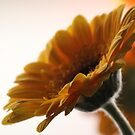 Gerbera in the Limelight by karina5