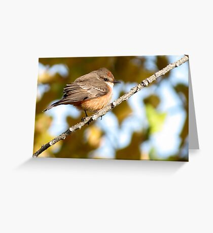 Vermilion Flycatcher ~ 1st Winter Male Greeting Card