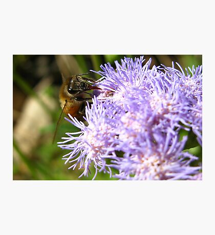 I Bee Collecting More Photographic Print