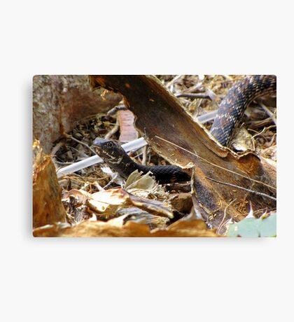 Common Kingsnake ~ (Lampropeltis getulas) Canvas Print