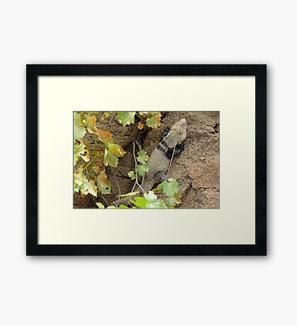 Sonoran Spiny-tailed Iguana ~ 2 (Male) Framed Print