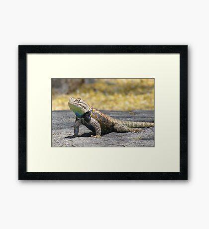 Desert Spiny Lizard ~ Male Framed Print