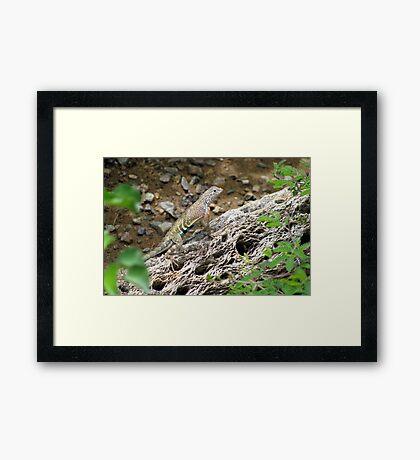 Greater Earless Lizard ~ Male Framed Print