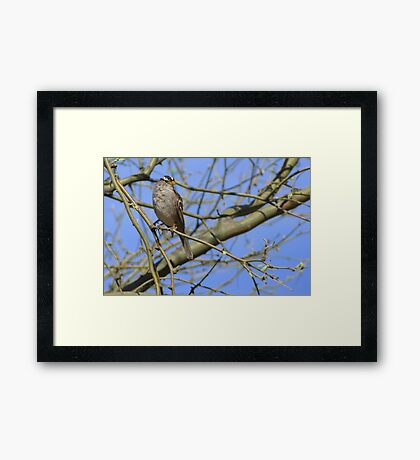 White-crowned Sparrow ~ Adult II Framed Print