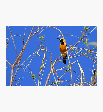 Hooded Oriole ~ Male Photographic Print