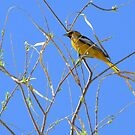 Bullock's Oriole ~ Male by Kimberly Chadwick