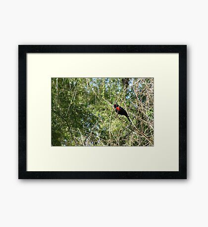 Red-winged Blackbird ~ Male Framed Print