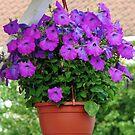 Hanging Basket with Velvety Purple Petunias by BlueMoonRose