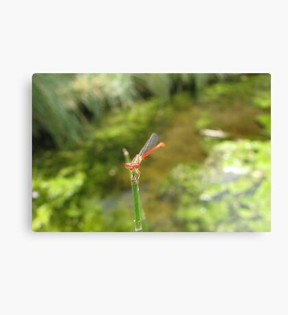 Damselfly ~ Desert Firetail (Male) Canvas Print