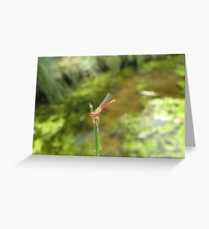 Damselfly ~ Desert Firetail (Male) Greeting Card